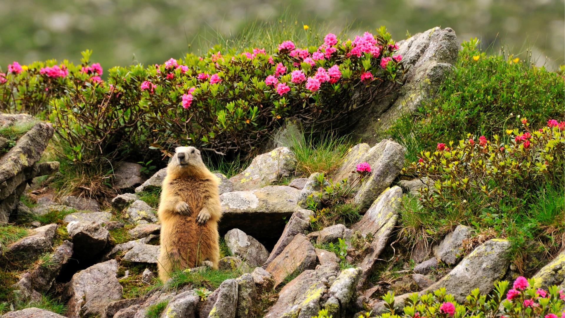 Marmott tervitamas